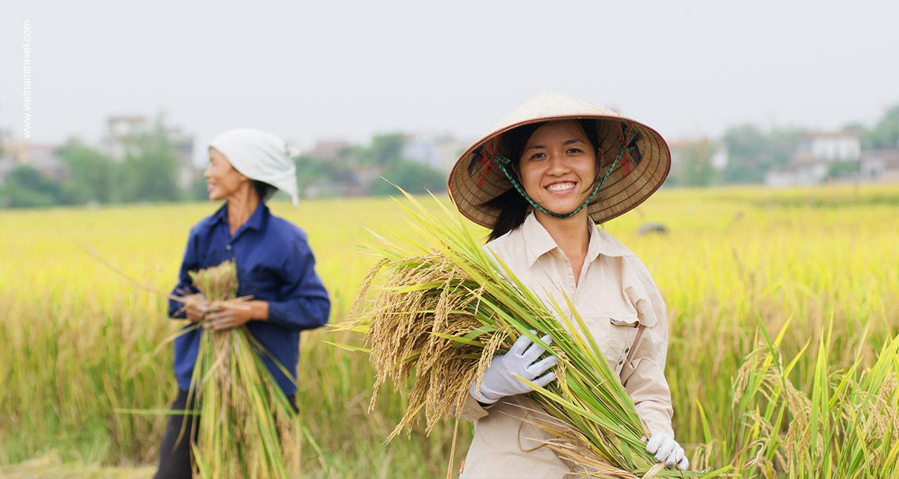 Hai Duong Rice Field